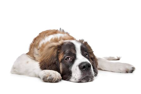 st bernard: St Bernard puppy in front of a white background Stock Photo