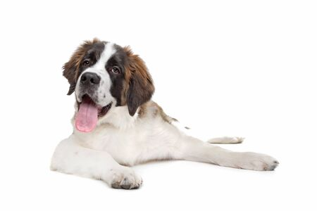 St Bernard puppy in front of a white background photo