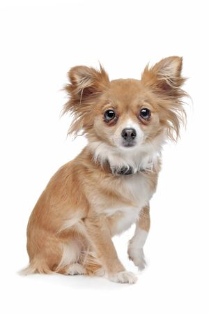 mixed breed Chihuahua in front of a white background photo