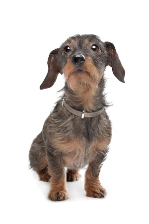 Wire-haired dachshund  Kaninchen Teckel  in front of white