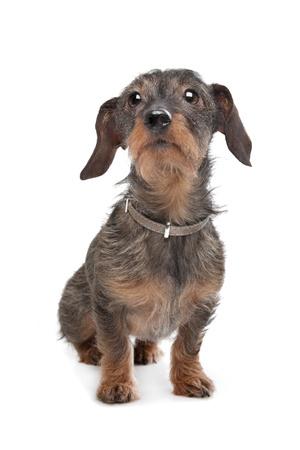 Wire-haired dachshund  Kaninchen Teckel  in front of white