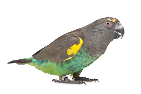 Meyer Parrot in front of a white background Stock Photo - 13255978