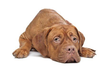 perro triste: Dogo de Burdeos al frente de un fondo blanco Foto de archivo
