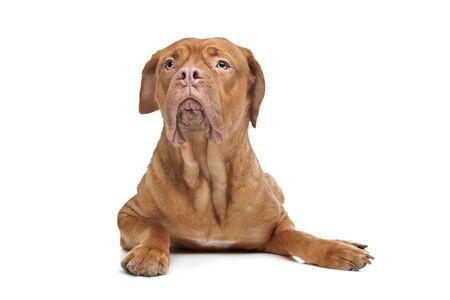 Bordeauxdog in de voorkant van een witte achtergrond Stockfoto