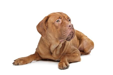 bordeauxdog: Dogue de Bordeaux in front of a white background