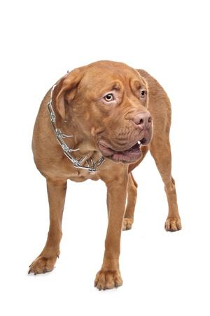 Dogue de Bordeaux in voor een witte achtergrond