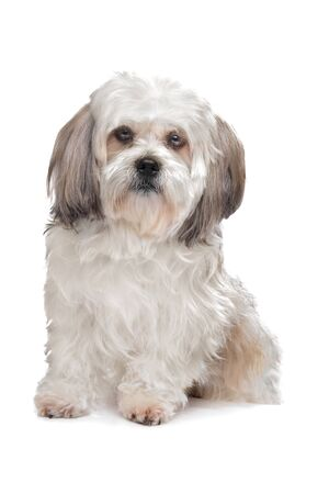 Boomer dog in front of a white background Stock Photo - 13256155