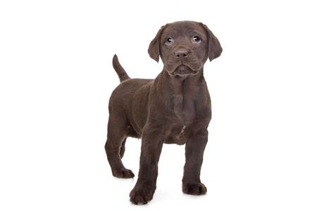 labrador puppy: Chocolate Labrador puppy  7 weeks old