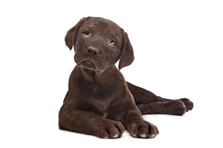 chocolate labrador retriever: Chocolate Labrador puppy  7 weeks old