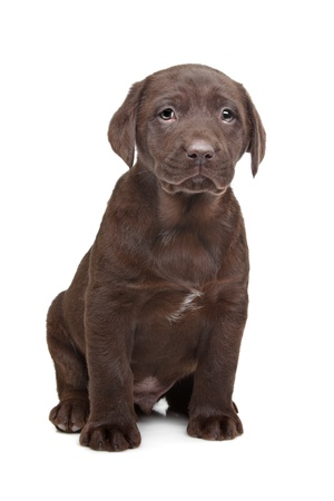 Chocolate Labrador puppy  7 weeks old  photo