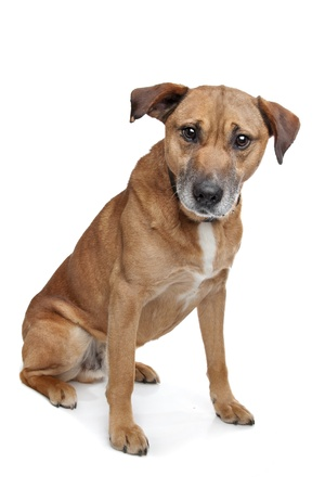 mixed breed dog in front of a white background  shepherd Labrador
