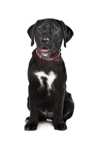 Black Labrador puppy in front of a white background Stock Photo