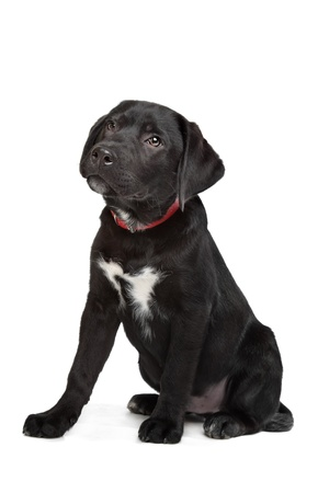 laboratory animal: Black Labrador puppy in front of a white background Stock Photo