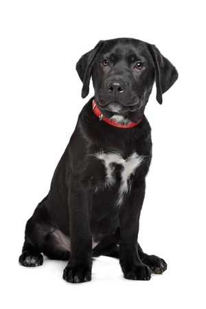 Black Labrador puppy in front of a white background Stock Photo - 13256213