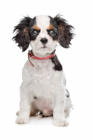 Cavalier King Charles Spaniel in front of a white background photo