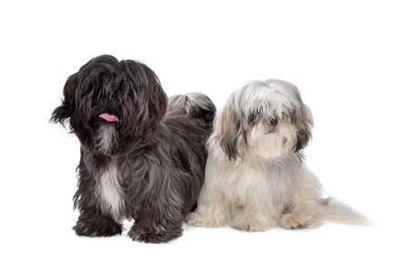 shih tzu: Two Shih tzu dogs in front of a white background