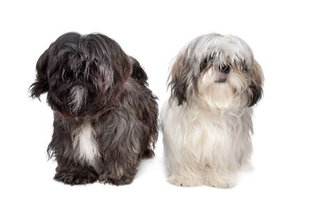 Two Shih tzu dogs in front of a white background photo