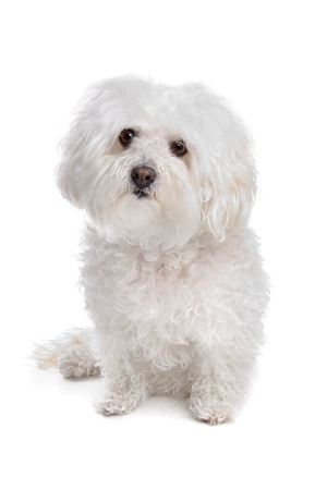Bolognese dog in front of a white background Imagens - 13297792