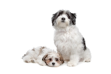 two boomer dogs in front of a white background Stock Photo - 13297667