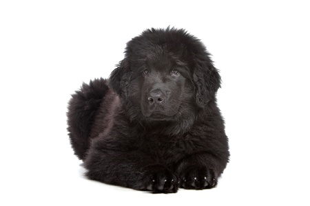 Black Newfoundland puppy in front of white background photo