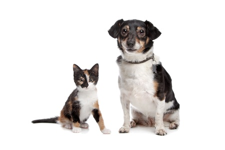 white cats: Kitten and Jack Russel Terrier in front of a white background