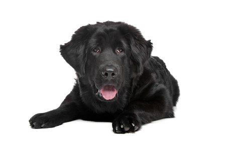 Black Tibetan Mastiff puppy in front of a white background photo