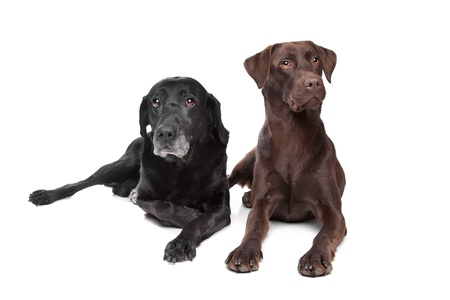 black and brown Labrador Retriever in front of a white background photo