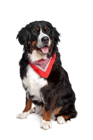 Bernese Mountain Dog in front of a white background Stock Photo - 13297987