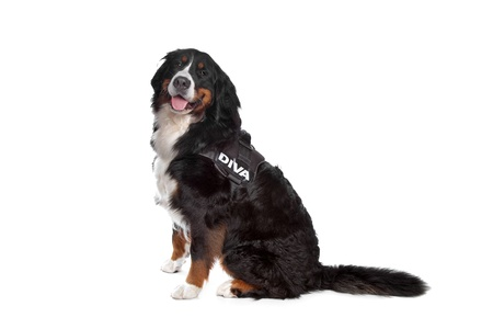 pure breed: Bernese Mountain Dog in front of a white background Stock Photo