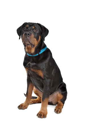 Young rottweiler in front of a white background photo