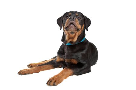 rotweiler: Young rottweiler in front of a white background