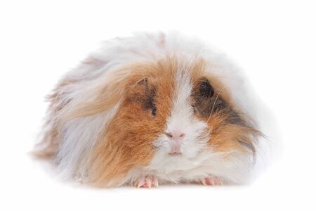 long haired guinea pig in front of a white background photo