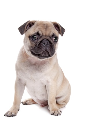 Pug dog in front of a white background