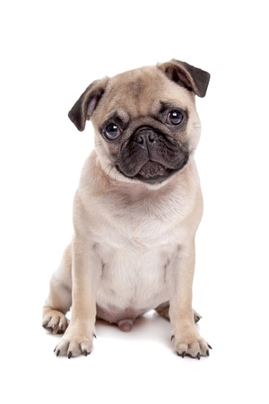 dog background: Pug dog in front of a white background