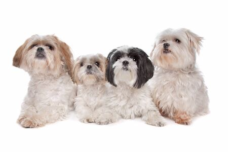 Four maltese, shih tzu dogs in front of a white background photo