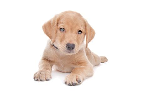 yellow Labrador retriever puppy in front of a white background Zdjęcie Seryjne