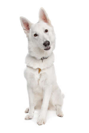 german swiss: white shepherd dog in front of white background