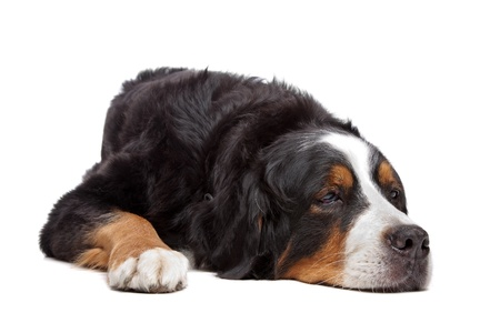 sleeping animals: Bernese Mountain Dog in front of a white background Stock Photo