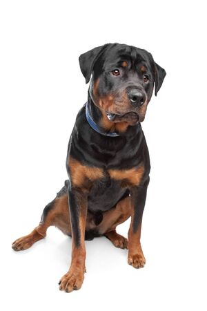 rotweiler: rottweiler in front of a white background Stock Photo