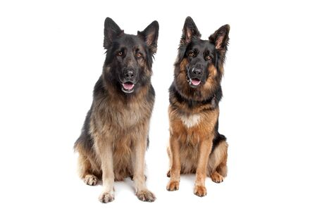 Two German shepherd dogs in front of a white background photo