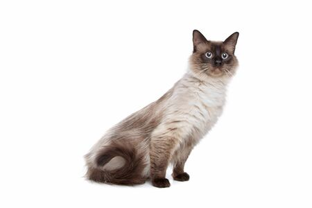 siamese cats: Siamese cat in front of a white background