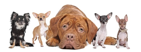 large group of animals: four chihuahua dogs and a Dogue de Bordeaux in front of a white background.