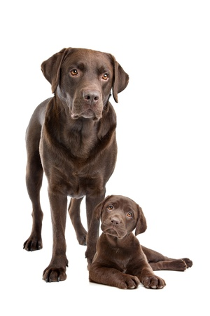 young adults: Chocolate Labrador adult and puppy in front of a white background
