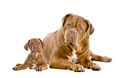 Dogue de Bordeaux adult and puppy in front of a white background