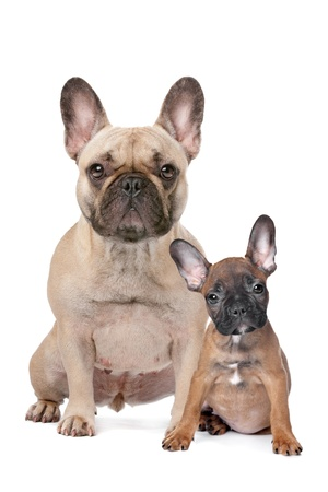 french bulldog puppy: French Bulldog adult and puppy in front of a white background