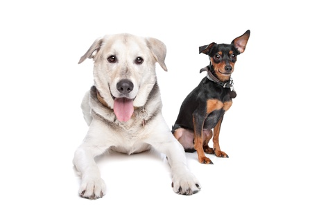 miniature Pinscher and a mixed breed Labrador in front of white