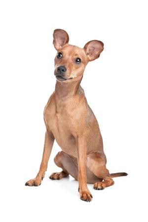 miniature breed: Pinscher miniatura delante de un fondo blanco Foto de archivo