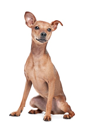 Miniature Pinscher in front of a white background Stock Photo