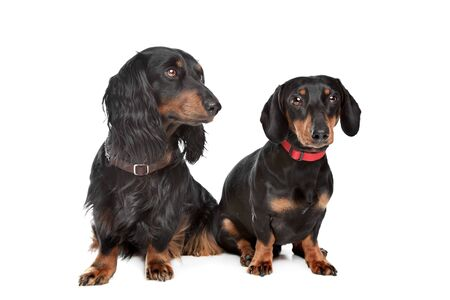 longhaired: long-haired and smooth dachshund in front of a white background