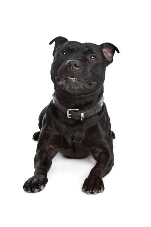 pure bred: Staffordshire Bull Terrier in front of a white background